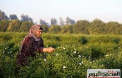 الزراعة: حصاد الياسمين يبدأ من الواحدة صباحا وإنتاج العامل في اليوم كيلو (فيديو)