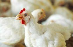 «منتجي الدواجن» تعلن انخفاض أسعار البيض والدواجن (التفاصيل)