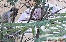 فصل جديد من قصة هروب نسانيس حدائق الأهرام.. كواليس الإمساك بأحدها بعد 65 يومًا (فيديو)