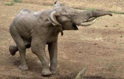 بالصور تمساح يحرم فيل صغير من شرب الماء