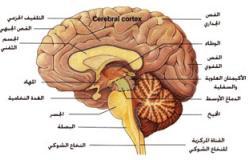 خريطة جديدة للمخ ثلاثية الأبعاد على الإنترنت