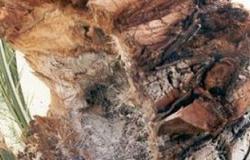 عالم مصرى يكتشف مصلا للقضاء على حشرة سوسة النخيل الحمراء