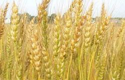 رئيس أكاديمية البحث العلمى: آلية تخزين القمح تؤثر بشكل كبير على صناعة الخبز