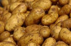 """""""زراعة"""" سوهاج: زراعة 1800 فدان من محصول البطاطس.. والتقاوى """"سليمة"""""""